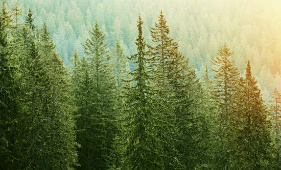 Old spruce, fir and pine trees in wilderness of a national park.