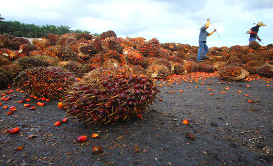 Image result for improved cultivation of palm oil