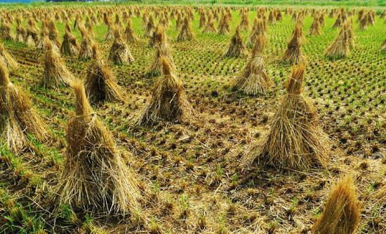 Rice straw pyramids