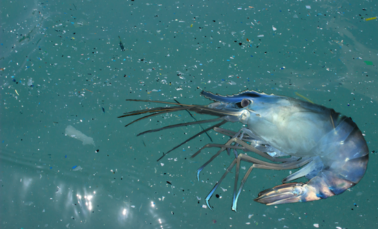 shrimp in microplastics in ocean