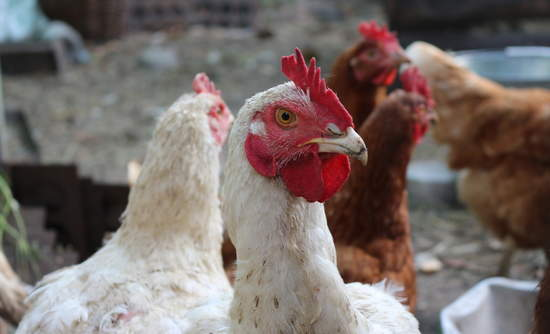 This enzyme helps chickens absorb more nutrition from less feed