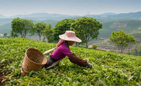 Yunnan tea plantation