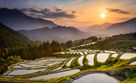 Japan rice fields
