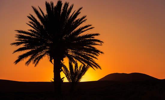 morocco palm