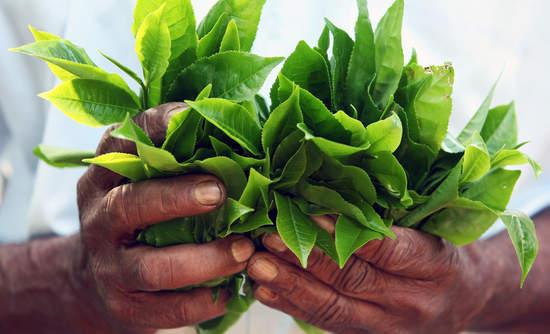 tea leaves smallholder farming financial sustainability