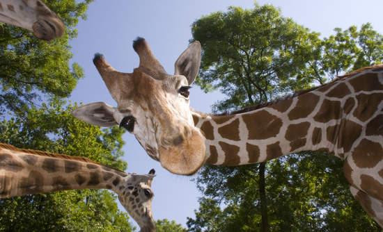 giraffe evolution and climate adaptation
