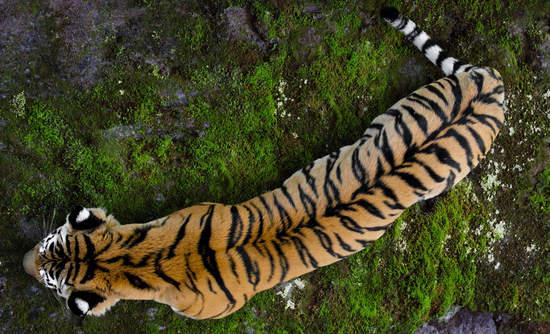 tiger biodiversity and sattelite technology