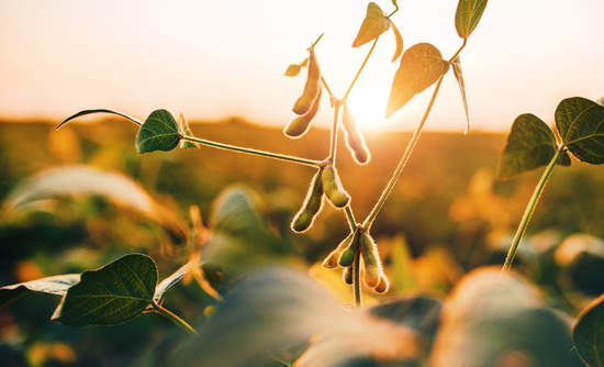 soybeans in a field
