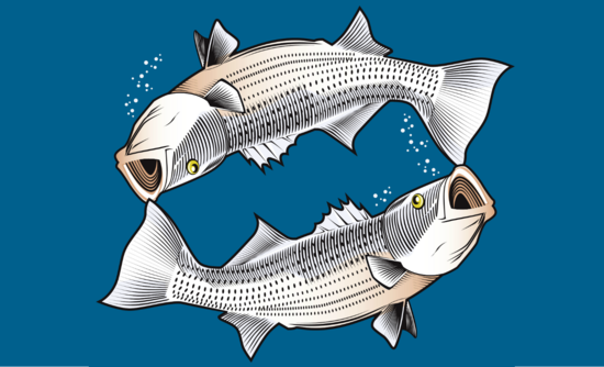Illustration of two striped bass