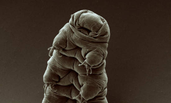 Scanning electron microscope image of a tardigrade