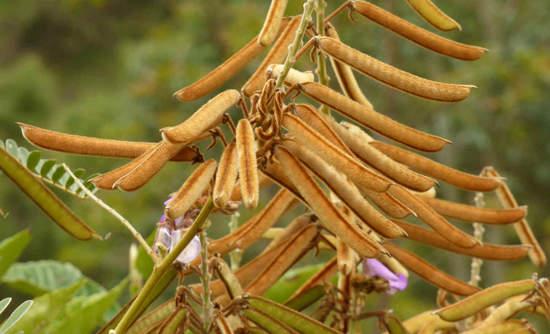 Tephrosia vogelii plant