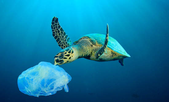 Turtle about to eat plastic bag