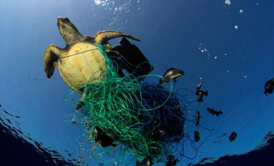 Turtle stuck in nets