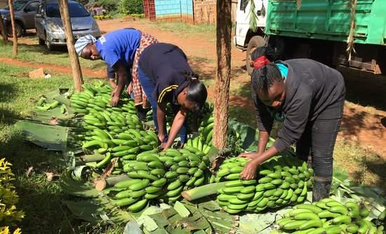 Twiga Farms, bananas, Kenya
