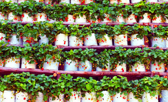 vertical farming for strawberries