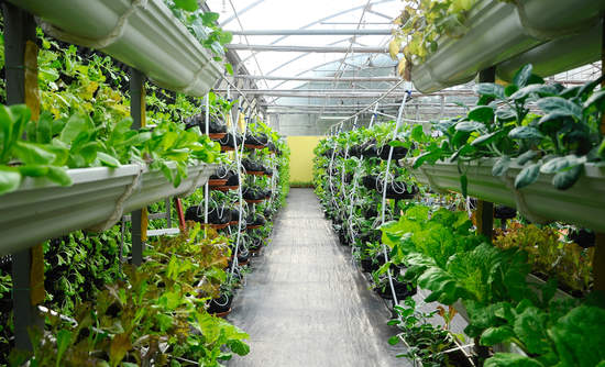 Vegetables are grown using vertical farming system.