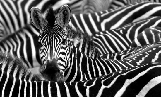 Impact investments are being used to product the zebra's habitat.