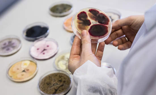Novozymes lab researchers handling fungi.