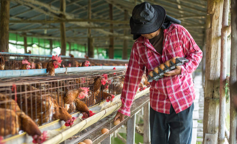 Farmer collects eggs on chicken farm