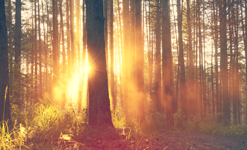 Forest with sunlight streaming through