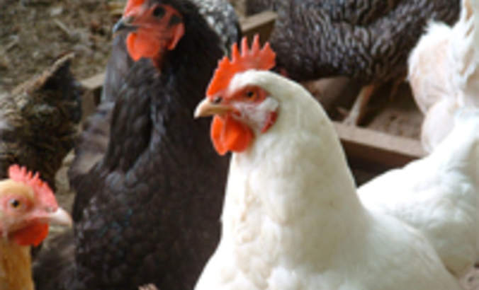 Tyson Foods adopts video audits to monitor animal welfare featured image