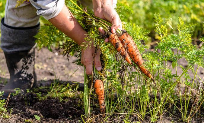 Farmer in field picking carrots