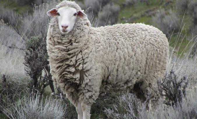 Imperial Stock Ranch, Shaniko Wool Company
