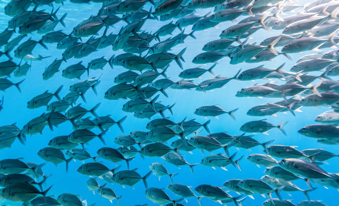 school of bigeye trevally jack fish