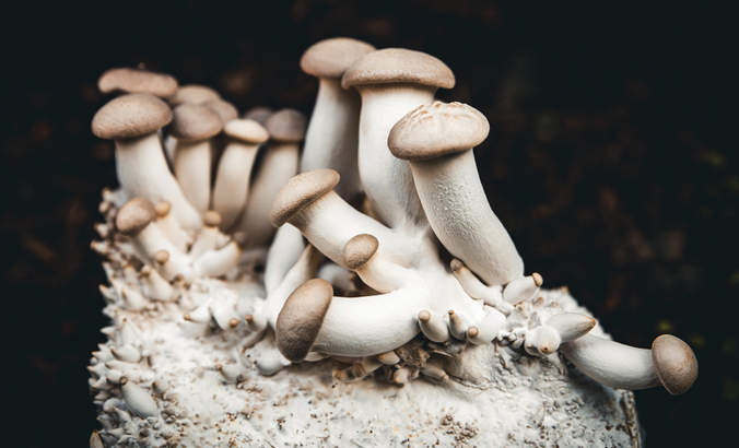 A bunch of king oyster mushrooms growing on its root structure mycelium, home fungiculture and farming