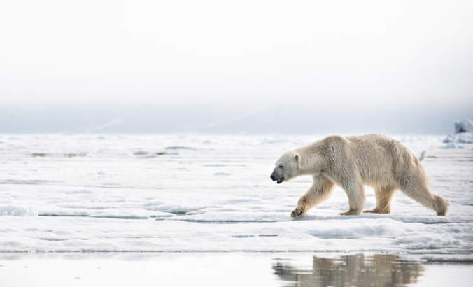 Skinny polar bear on the ice outside Svalbard
