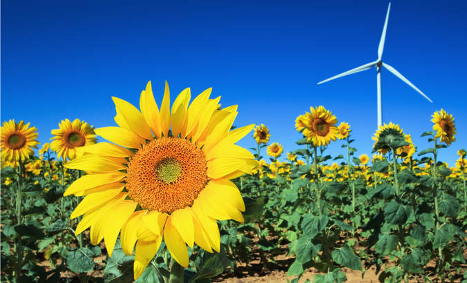 Sunflowers in a field with wind turbine