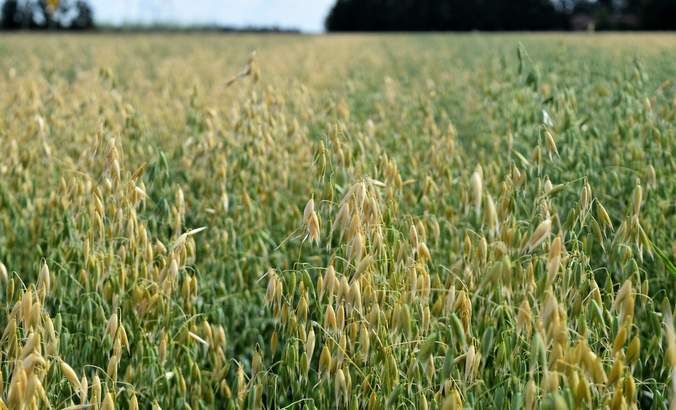 Winnipeg oats, regenerative ag