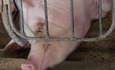 Tyson Foods to farmers: Give pigs more space featured image