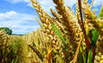 Corn Ethanol Industry Attacks California's Low Carbon Fuel Standard featured image