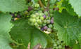 Climate Change to Have Staggering Impact on French Wine Producing Pedigree featured image