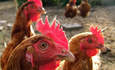 Chicken Manure Helps Power UK Town featured image