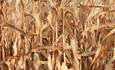 How water risks threaten the global corn crop featured image