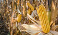 Big Food's plan to make U.S. cash crops more sustainable featured image