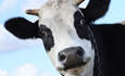 Sustainable dairies: The cream of the crop featured image