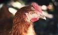 How chickens are powering the circular economy featured image