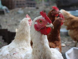 This enzyme helps chickens absorb more nutrition from less feed featured image