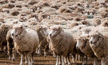 Patagonia seeks more sustainable wool in Patagonia featured image