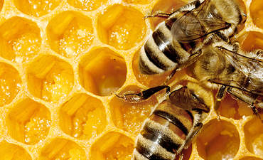 Can urban bees provide insight into colony collapse disorder?  featured image