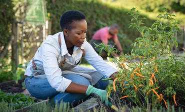 Black farmer taking care of plants and harvesting fresh vegetables from the greenhouse.