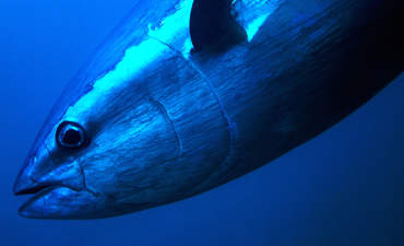 In Japan, a David vs. Goliath Battle to preserve Bluefin Tuna featured image
