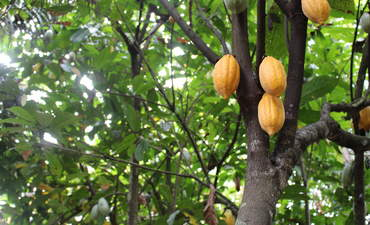 How public-private partnerships fight climate change in the cocoa supply chain featured image