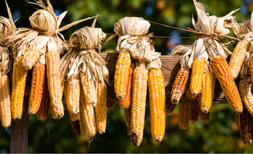 Several ears of fresh corn drying outdoors