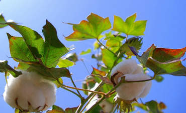 Is global cotton at risk unless brands help farmers save water? featured image