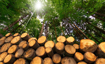 In sustainably managed forests, new trees are planted each time older trees are cut down for timber.