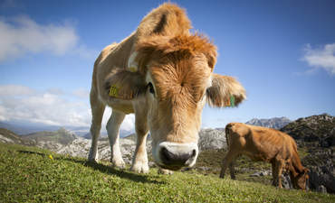 Grass-fed beef may be even worse for the climate featured image